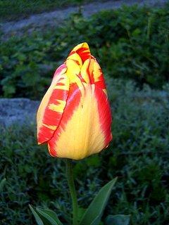FOTKA - Tak tenhle tulipán přežil zimu!  Nikdo ho nesežral!