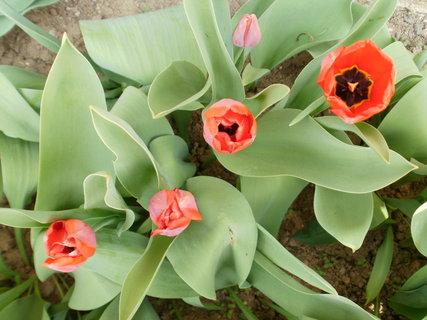 FOTKA - posledn� tulip�ny