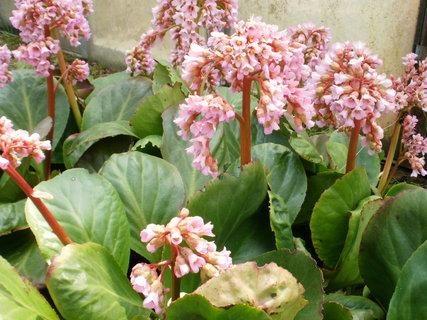 FOTKA - r�ov� kv�ty dlouho kvetou