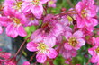 Květy lomikámenu 1