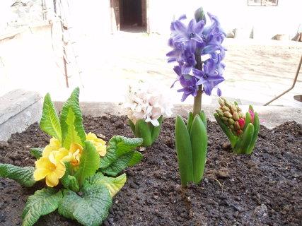 FOTKA - Hyacint a Primulka