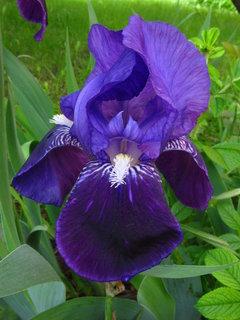 FOTKA - Kosatec - modrý květ