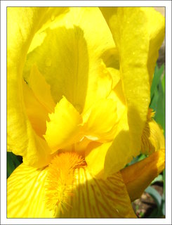 FOTKA - Detail květu žlutého kosatce