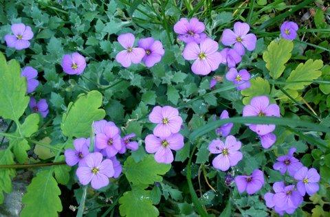 FOTKA - fialové skalničky