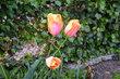 Oranž tulipány 1