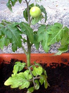 FOTKA - První malé rajčátko venku
