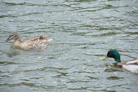 FOTKA - Kačka a kačer na Vltavě