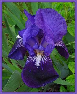 FOTKA - Modrý kosatec - květ