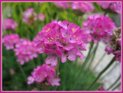 FOTKA - Jarní růžové kvítky