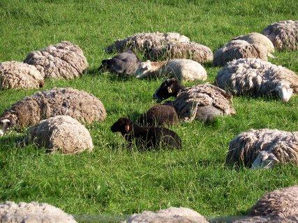 FOTKA - Ovečky odpočívají