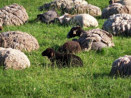 FOTKA - Ovečky na pasece