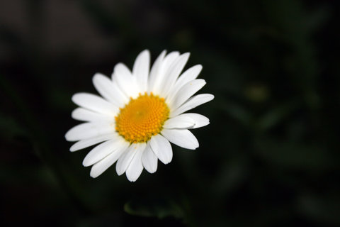 FOTKA - Kopretina