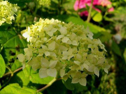 FOTKA - Drobnokvětá hortenzie