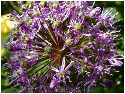 FOTKA - Detail květu ozdobného česneku