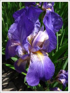FOTKA - Květ  kosatce modrého