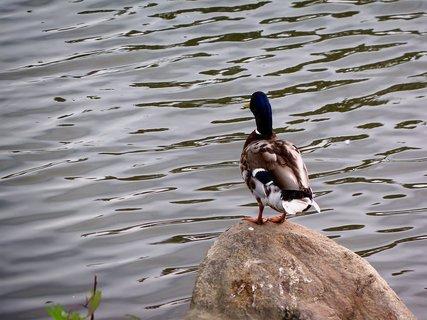 FOTKA - Kačer  dohlíží   jestli je na vodě všechno v pořádku