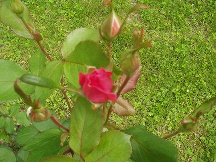 FOTKA - Poupata růží