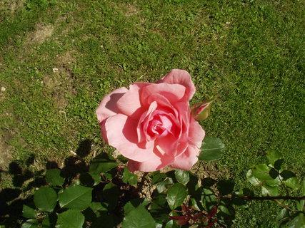 FOTKA - Rozkvetlá růže