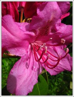FOTKA - Detail růžového květu rododendronu