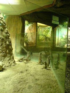 FOTKA - surikaty
