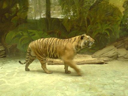 FOTKA - tygří procházka