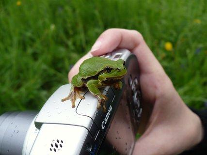 FOTKA - žabka rosnička