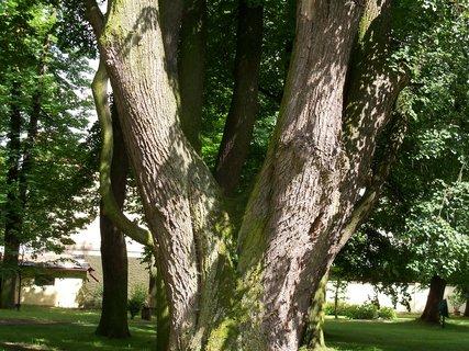 FOTKA - Zámecký strom