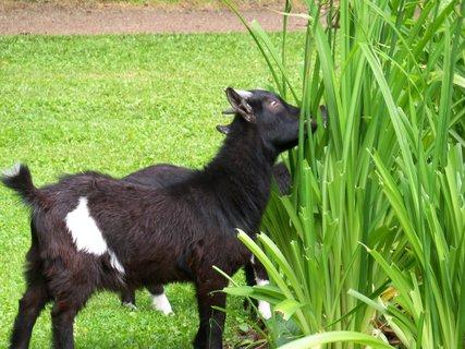 FOTKA - Zámecká koza, moc jí chutná denivka