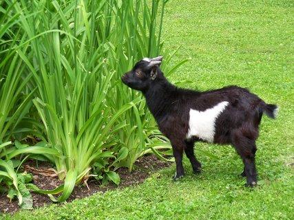 FOTKA - Zámecká koza si pochutnává na denivce