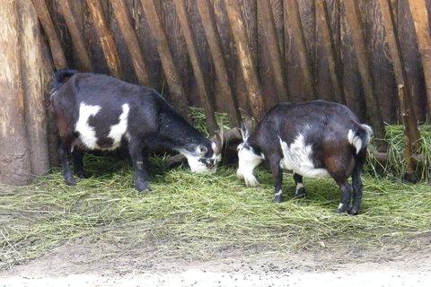 FOTKA - Kozy u krmelce