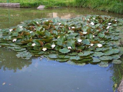 FOTKA - rybníček plný leknínů