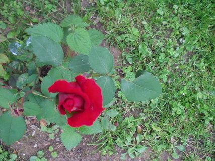 FOTKA - Červené poupě