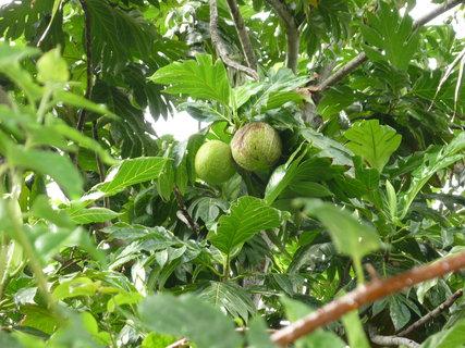 FOTKA - kokosy rostou vsude na ostrove