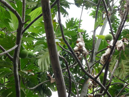 FOTKA - breadfruit chutna jako nase brambory