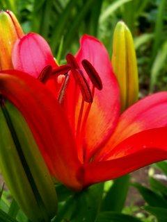 FOTKA - Krásně zbarvená lilie