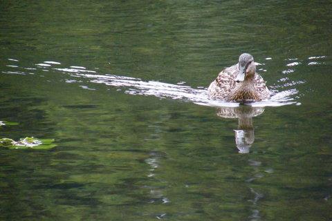 FOTKA - Divoká kachna