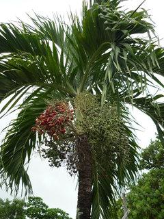 FOTKA - palma-neznam jeji nazev