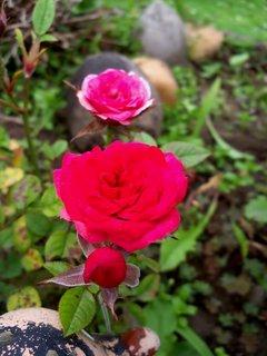 FOTKA - mini růžičky