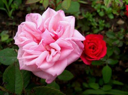 FOTKA - Růžová a červená mini růže
