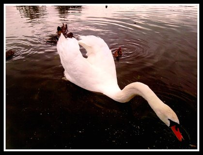FOTKA - Překrásná labuť