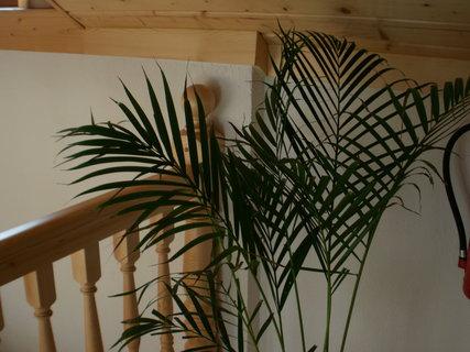 FOTKA - palma v podkroví