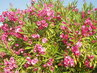 Kvetoucí oleandry