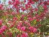 Kvetoucí azalka