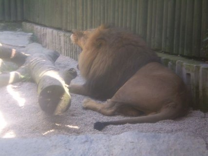 FOTKA - lev zívající