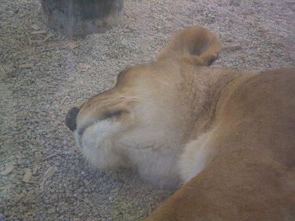 FOTKA - lvice spící