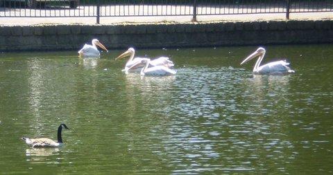 FOTKA - pelikáni