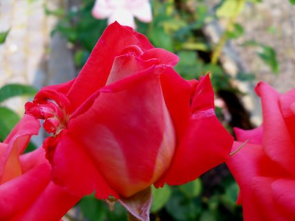 FOTKA - -Růže
