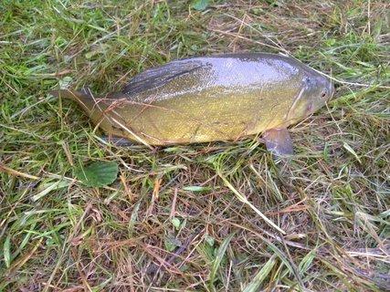FOTKA - zlatá rybka - lín.