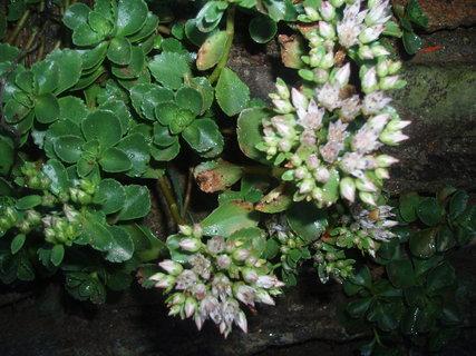 FOTKA - Kvetoucí skalnička 2