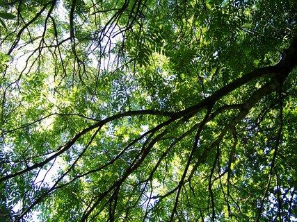 FOTKA - stromy nad hlavou ..,.,.,.,.,